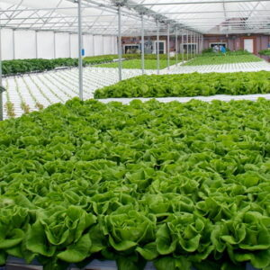 محصولات گلخانه ای   شیوه کاشت انواع محصولات گلخانه ای